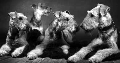 vier Airedale-Terrier